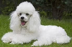 Image result for poodle
