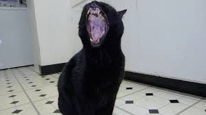 Image result for black cat yawning pictures