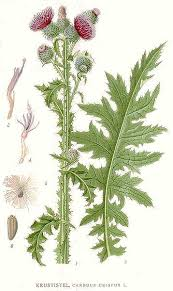 Carduus crispus Welted Thistle, Curly plumeless thistle PFAF Plant ...