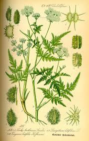 Turgenia latifolia - Wikispecies