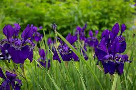 Картинки по запросу фиолетовый ирис