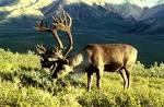 Images & Illustrations of caribou