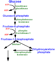 glycogenglycolysis pathway