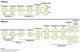 meiosis homework help key stages of meiosis and mitosis biology forums gallery biology forums