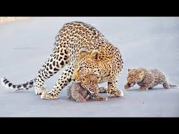 <b>Leopard</b> Teaches Cubs How to Cross the Road - YouTube