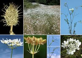 Orlaya grandiflora (L.) Hoffm. - Sistema informativo sulla flora del ...