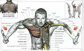 anatomy of the chest chest anatomy diagram human anatomy diagram        diagram anatomy of the chest muscle anatomy of chest anatomy human body