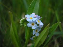 Weidevergeet-mij-nietje - Wikipedia