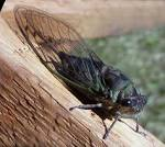 Images & Illustrations of cicada