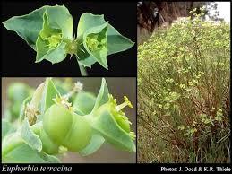 Euphorbia terracina L.: FloraBase: Flora of Western Australia