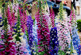 Image result for foxglove pictures