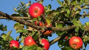 Resultado de imagen para imagen arbol manzano