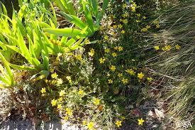Bidens ferulifolia   California Flora Nursery