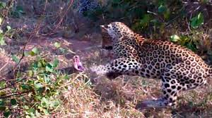 Watch a Huge Snake Battle a Mother Leopard and Cub