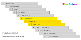 Limonium divaricatum [Limonio divaricato] - Flora Italiana
