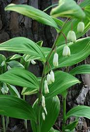 Image result for solomon's seal
