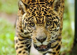 Image result for jaguar eating horse