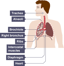 Image result for the lungs a level biology