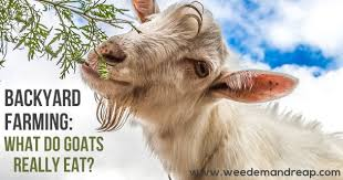 What do goats really eat? - Weed 'em & Reap