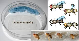 bringing life into biology lessons using the fruit fly drosophila an easy to monitor experiment classical genetic markers