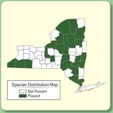 Sorbus americana - Species Page - NYFA: New York Flora Atlas