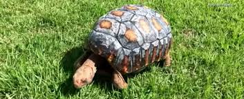 Adorable <b>Tortoise</b> Receives a <b>3D</b>-Printed Shell After Being Burnt in ...