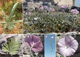 Convolvulus elegantissimus Mill. - Portale alle piante spontanee ...