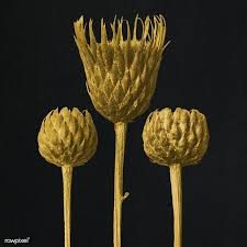 Download premium illustration of Gold Serratula Nudicaulis (Bare ...