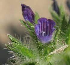 Wild Plants of Malta & Gozo - Plant: Echium arenarium (Coastal ...