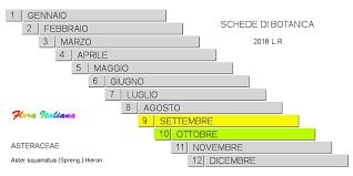 Aster squamatus [Astro annuale] - Flora Italiana