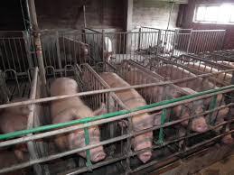 Резултат слика за Откуп товних свиња...