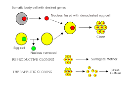 understanding stem cell research science made simple stem cell technique therapeutic vs reproductive cloning