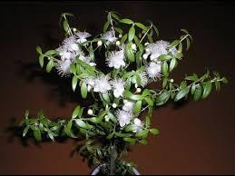 МИРТ КОМНАТНЫЙ – дерево <b>мира</b> и радости. Содержание и ...