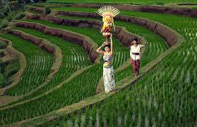 Image result for sawah terasering artikel