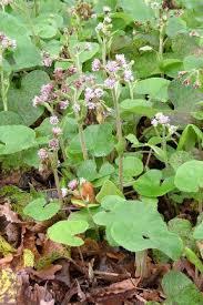 Butterbur and winter heliotrope / RHS Gardening