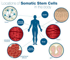 stem cell quick reference somatic stem cells
