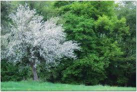 Bildergebnis für Apfelbaumwiese