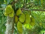 Images & Illustrations of jackfruit tree