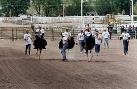 Image result for Ostriches Struthio camelus