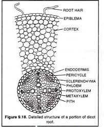 anatomical structure of plants  with diagram detailed structure of a portion of dicot root