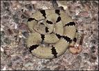 Images & Illustrations of banded rattlesnake