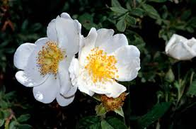 Rosa arvensis | field rose/RHS Gardening