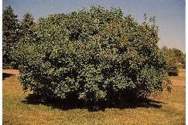 Plants Profile for Syringa vulgaris (common lilac)