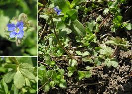 Veronica triphyllos L. - Sistema informativo sulla flora vascolare dei ...