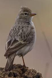 Hume's short-toed lark