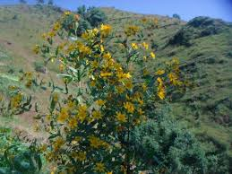 Guizotia abyssinica - Useful Tropical Plants