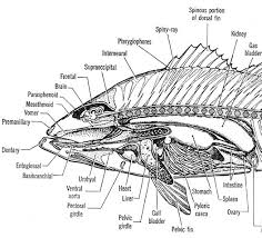 s of a fish   internal anatomy of anterior region   australian    image   s of a fish   internal anatomy of anterior region