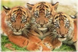 Image result for tiger images