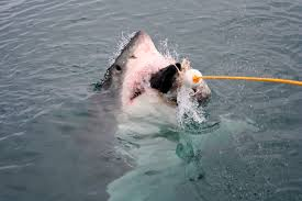 great white shark animal review great white shark