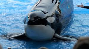 seaworld orlando essay blackfish killer whales backlash